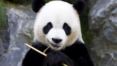 Omni Movie Pandas